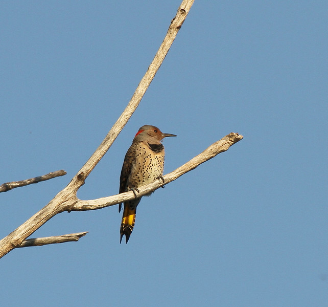 Yellow-shafted Northern Flicker (female)