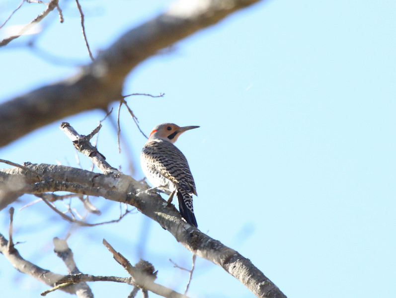 Northern Flicker (yellow-shafted male)