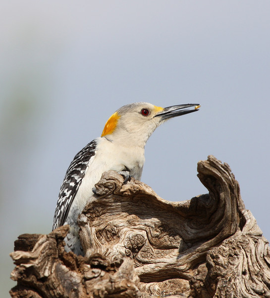 Golden-fronted Woodpecker (female)