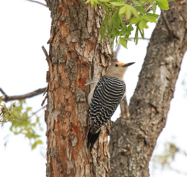 Golden-fronted Woodpecker (male)