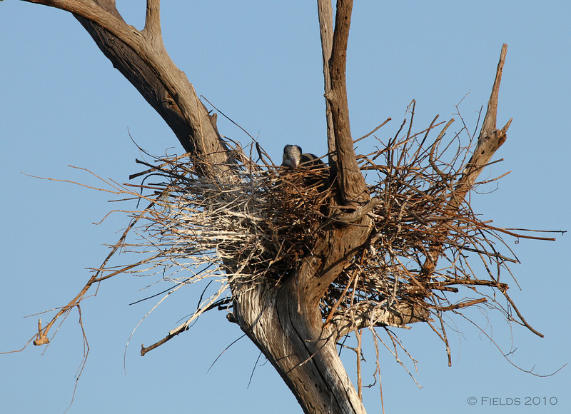 Great Blue Heron nest with chick.