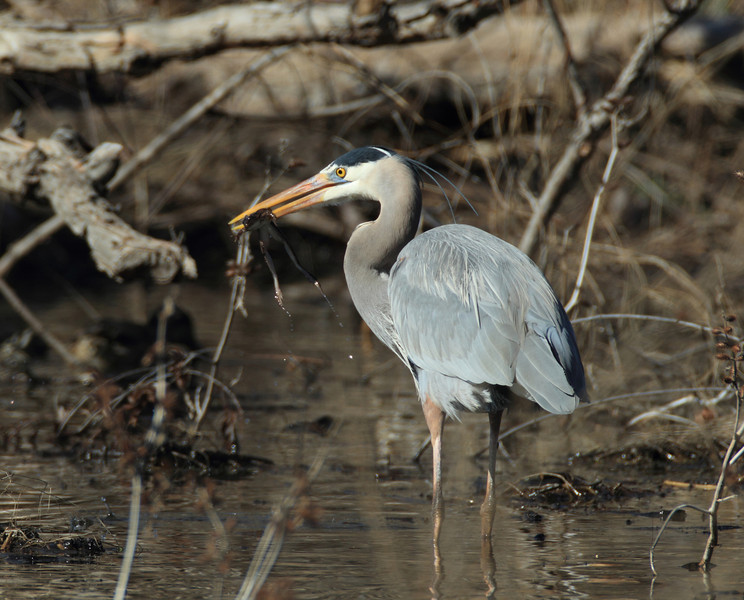 Great Blue Heron with frog.