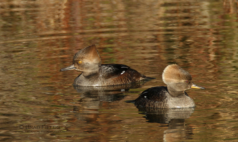 Hooded Mergansers (Immature Drake with Hen)