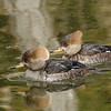 Hooded Merganser Hens