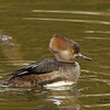 Hooded Mergansers (Immature Drake)
