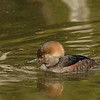 Hooded Merganser (Immature Drake)