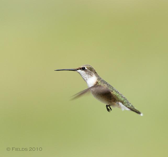 Hummingbird (immature male)