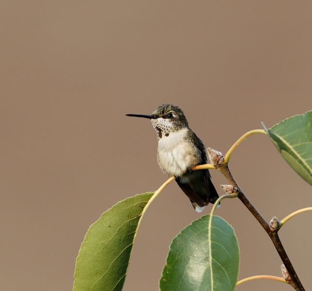 Ruby-throated Hummingbird (immature male)