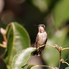 Ruby-throated Hummingbird (immature male)