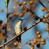 Female Ruby-throated Hummingbird