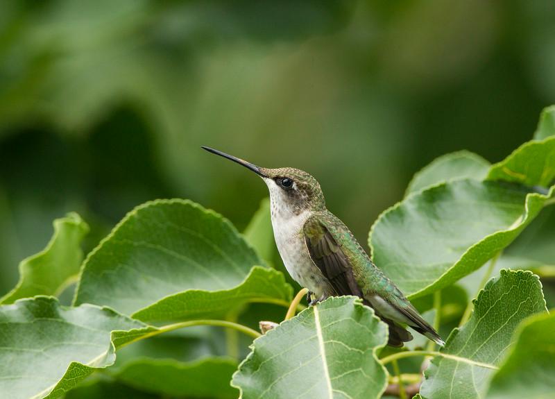 Ruby-throated Hummingbird (juvenile male)