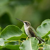 Ruby-throated Hummingbird (juvenile male)
