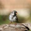 Harris's Sparrow (male)