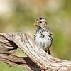 Harris's Sparrow (female)