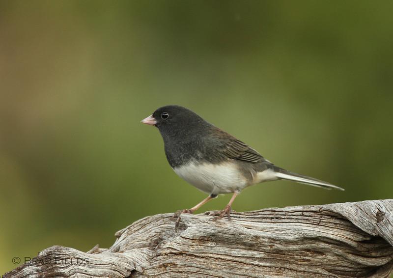 Male Dark-eyed Junco (slate-colored race)