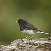 Male Dark-eyed Junco (slate-colored race)