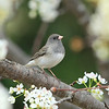 Female Dark-eyed Junco (slate-colored race)