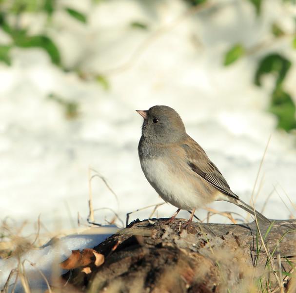 Female Dark-eyed Junco (slate-colored race)