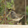 Dark-eyed Junco (slate-colored race)