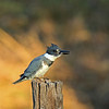 Male Belted Kingfisher with minnow.