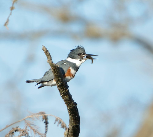 Female Belted Kingfisher with minnow.