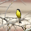 Lesser Goldfinch (male black-backed form)