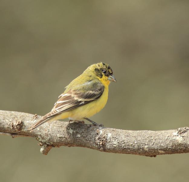 Lesser Goldfinch (immature male)