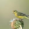 Female Lesser Goldfinch feeding on a spent Texas thistle.