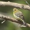 Lesser Goldfinch (female)