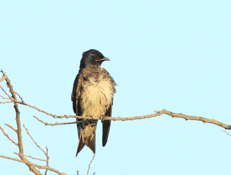 Purple Martin (juvenile)
