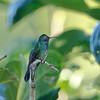 Male Mexican Violetear (Kerr County, Texas)