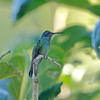 Male Mexican Violetear (Kerr County, Texas)