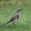 Northern Mockingbird in molt.