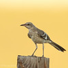 Juvenile Northern Mockingbird
