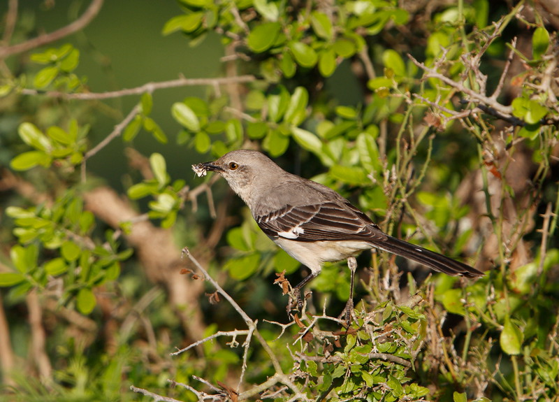Northern Mockingbird with prey.