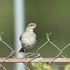 Juvenile Northern Mockingbird