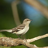 Singing Northern Mockingbird