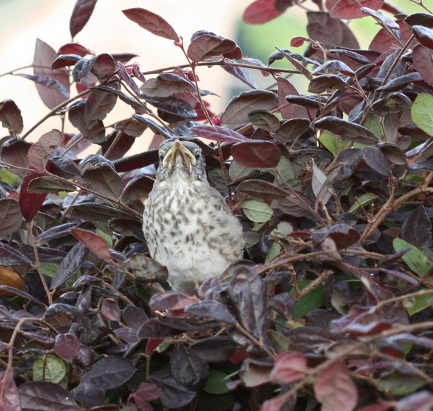 Northern Mockingbird (fledgling)