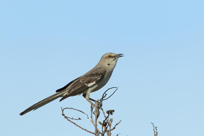 Singing Northern Mockingbird