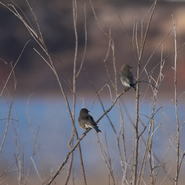 Mountain Bluebirds (females)