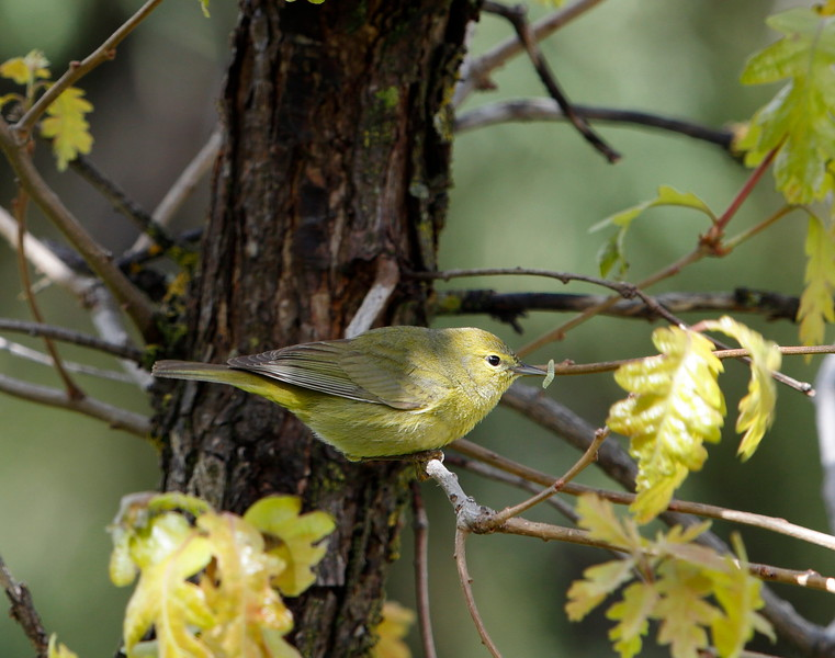 Orange-crowned Warbler with worm.
