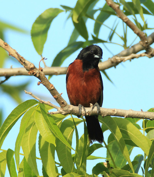 Orchard Oriole (male)