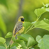 Orchard Oriole (first year male)
