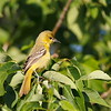 Orchard Oriole (female)
