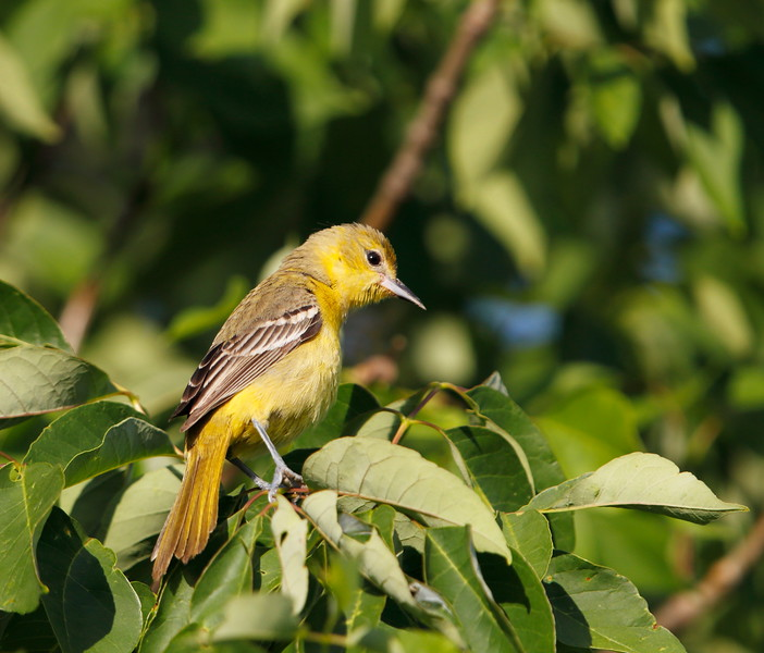 Orchard Oriole (female)