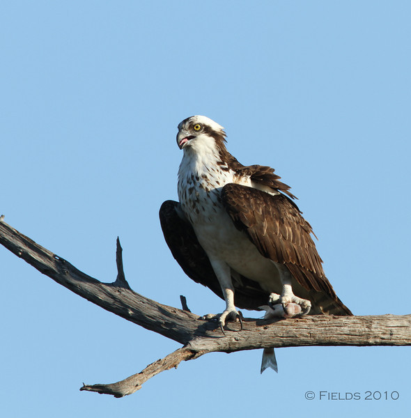 Osprey with fish.