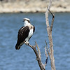 Osprey (female)