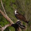 Osprey eating fish.