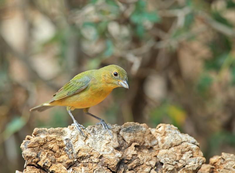Painted Bunting (immature)