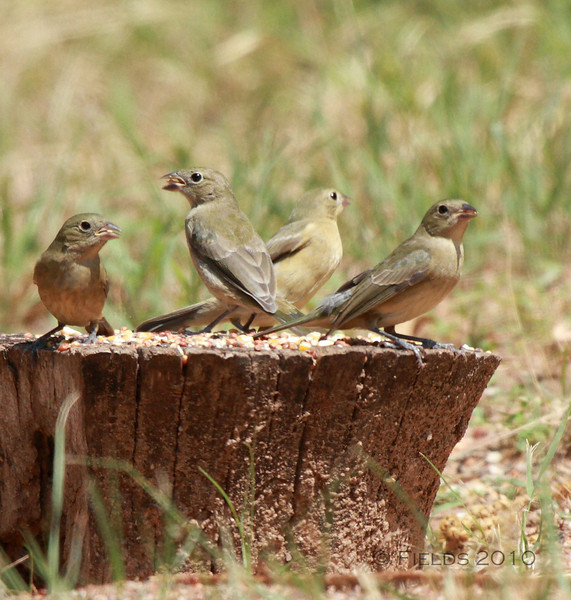 Immature Painted Buntings
